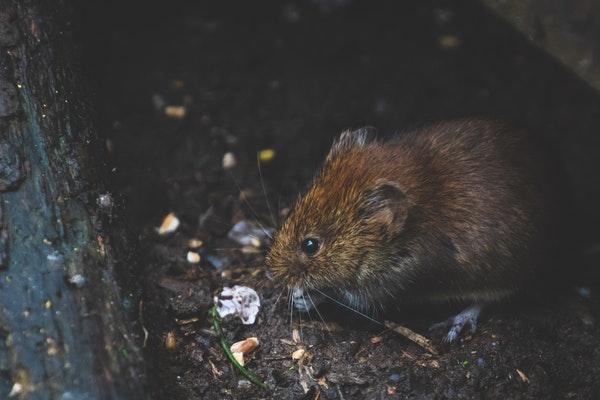 Pest Control Rat